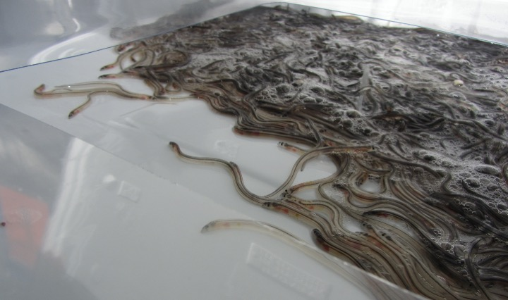 Seafood salesman convicted of eelegally smuggling £53million worth of European eels through the UK